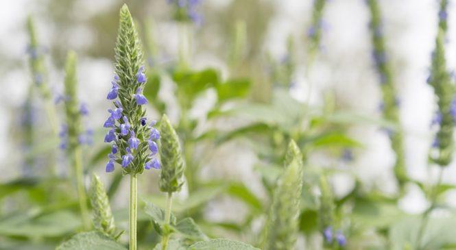 Was sind Chia Samen überhaupt?
