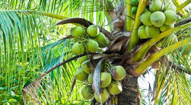 Die Kokosnuss – Wunderfrucht der Kokospalme.