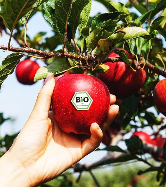 Ernte von Bio Äpfeln in Deutschland