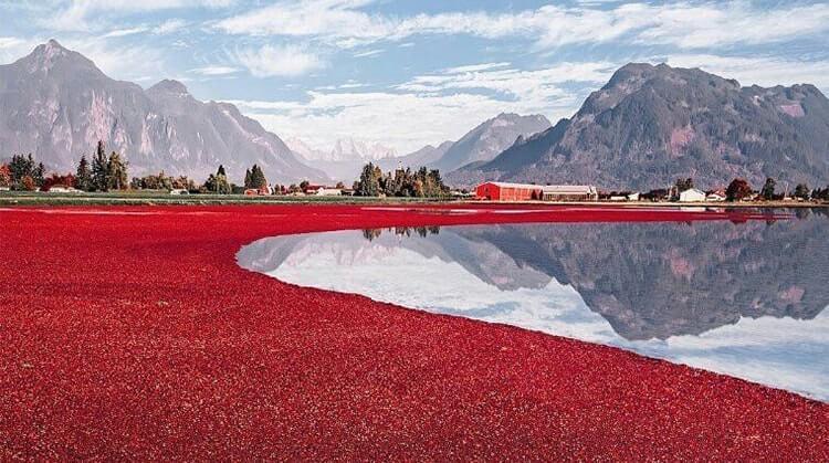 Bio Cranberries Farm in Kanada
