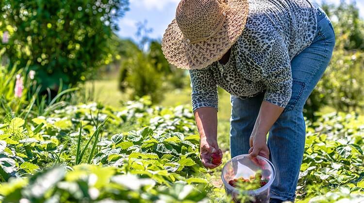 Ein Bio-Bauer erntet Erdbeeren