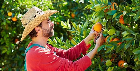 Bio-Bauer erntet Orangen