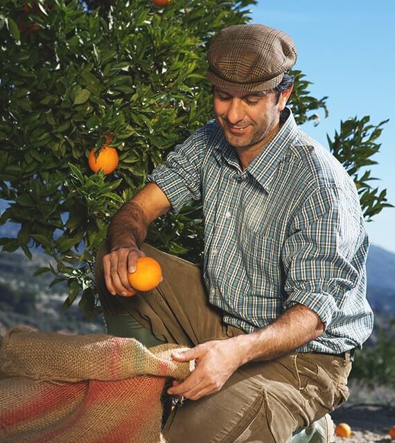 Ernte von Bio Orangen