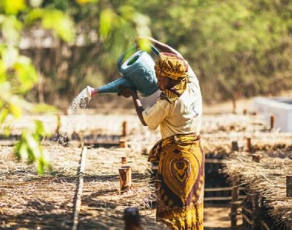 Mangroven Bäume in Madagaskar pflegen