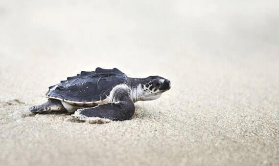 Schildkröten kehren in Mumbai zurück