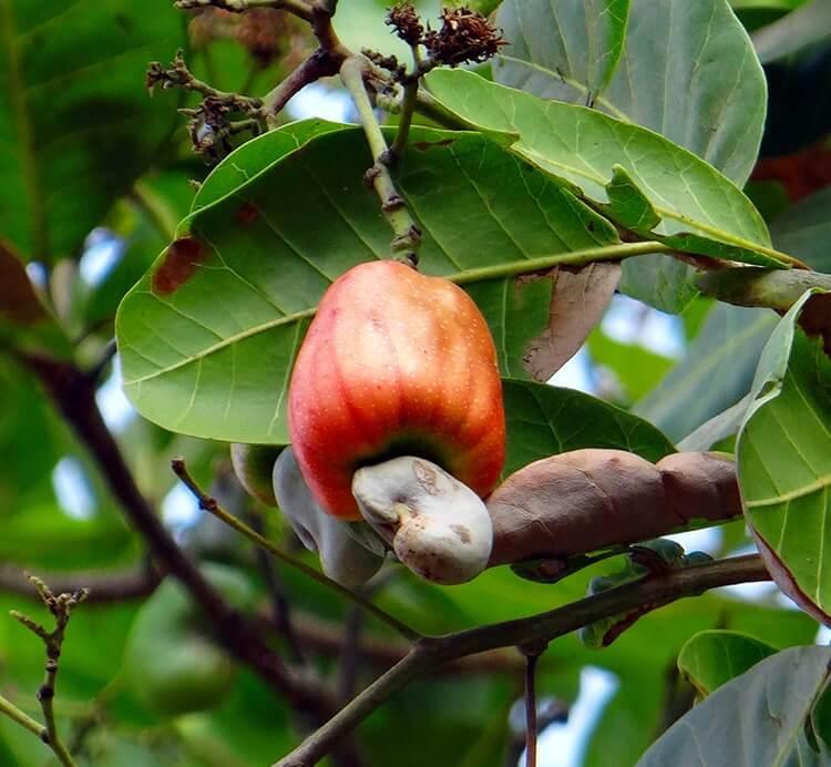 Cashewapfel am Baum in Indien