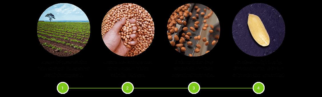 Erdnüsse Verarbeitung Prozess