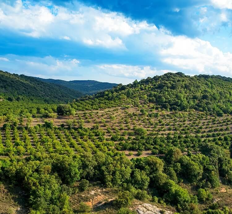 Biozertifizierte Haselnuss Plantage Italien