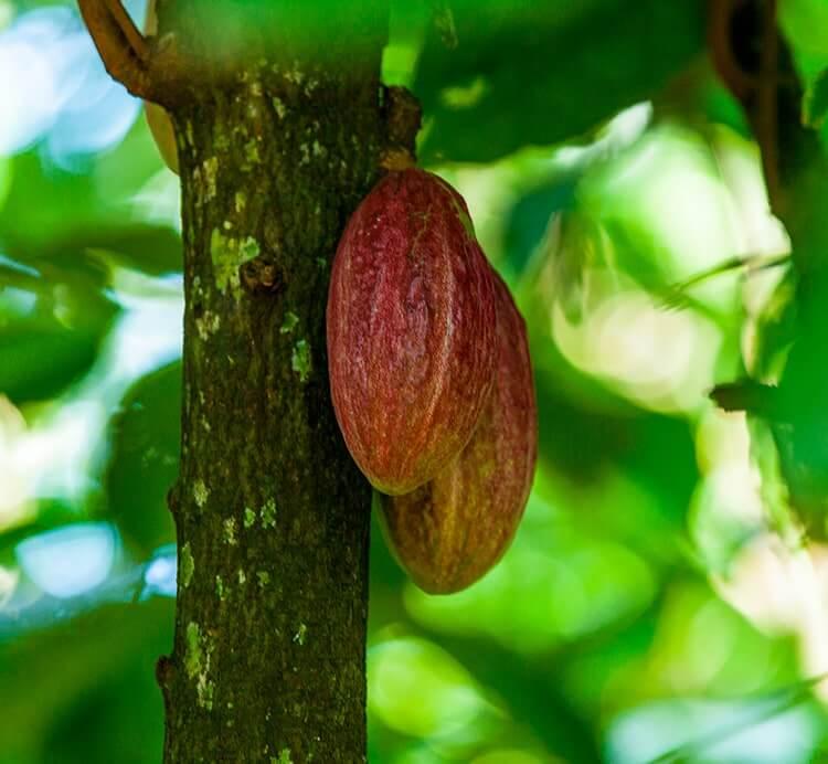 Reife Kakaofrucht am Baum