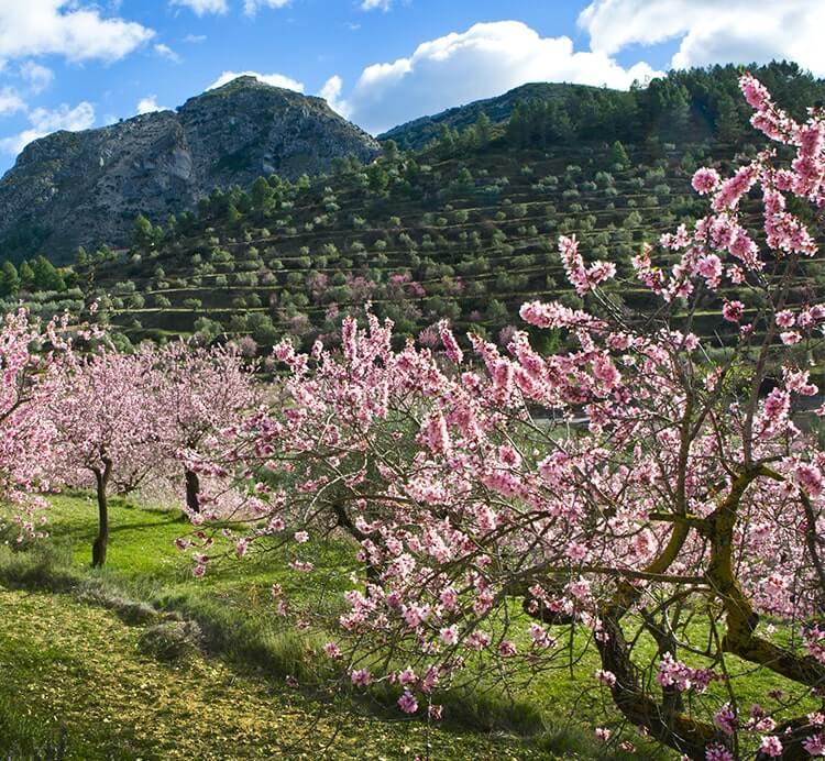 Mandelplantage in Spanien