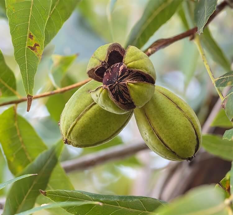 Pekannüsse am Baum
