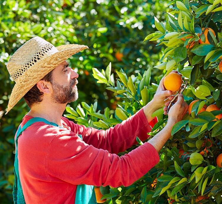 Orangen Ernte in Spanien