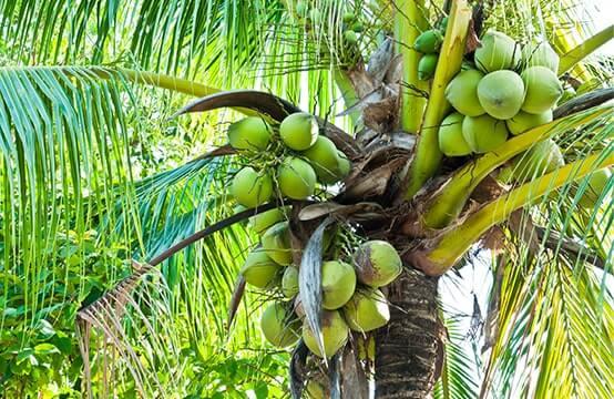 Grüne Kokosnüsse