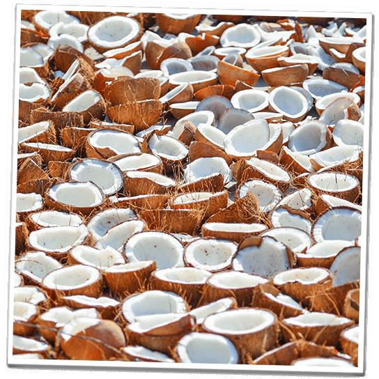 Kokosnüsse unter der Sonne getrocknet