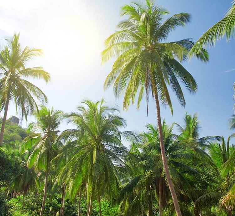Kokospalmen in Sri Lanka