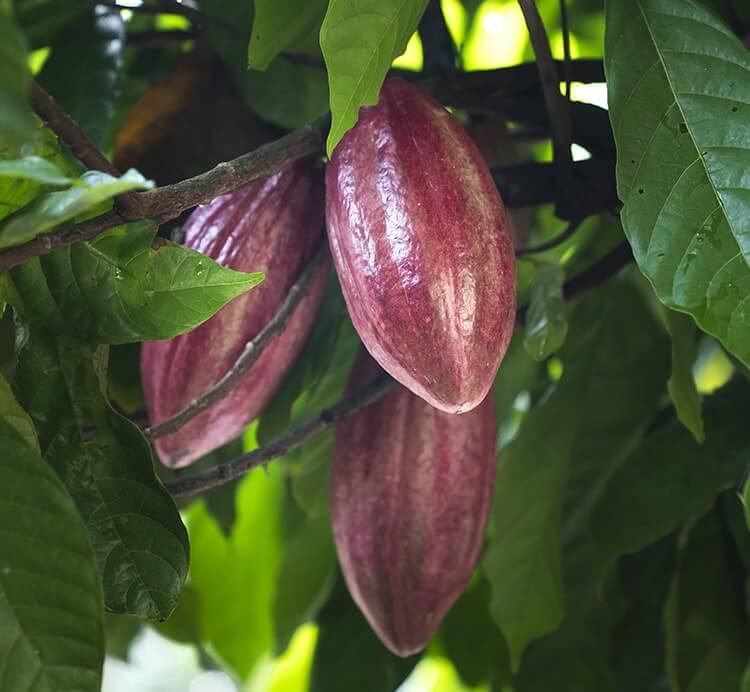 drei vollreife Kakaofrüchte