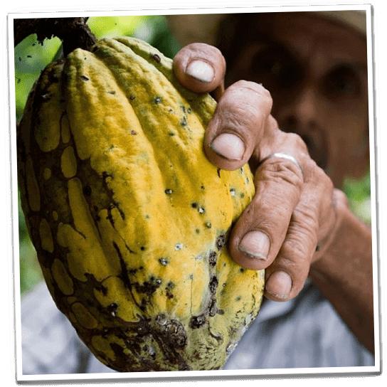 Ernte von Kakaofrüchten in Peru
