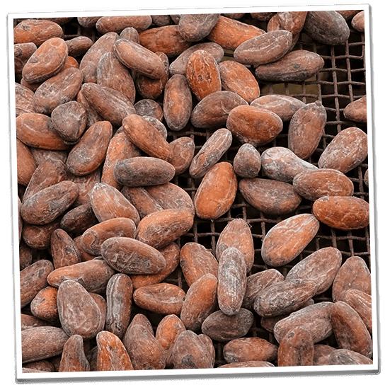 Kakaobohnen werden sonnengetrocknet