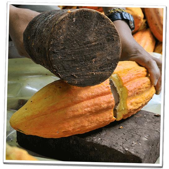 Kakaofrüchte werden geschält