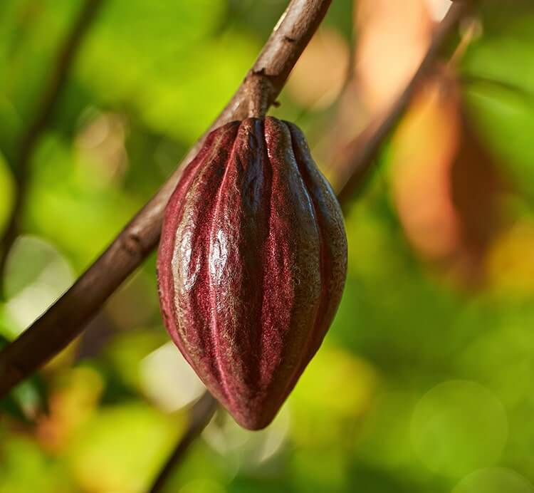 Reife Kakaofrucht in Peru