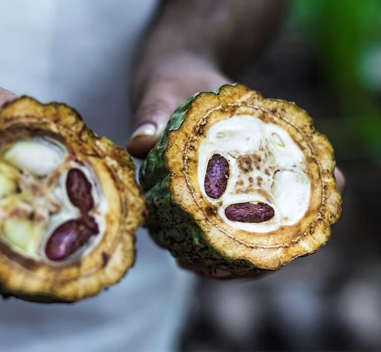 halbierte Kakaofrucht