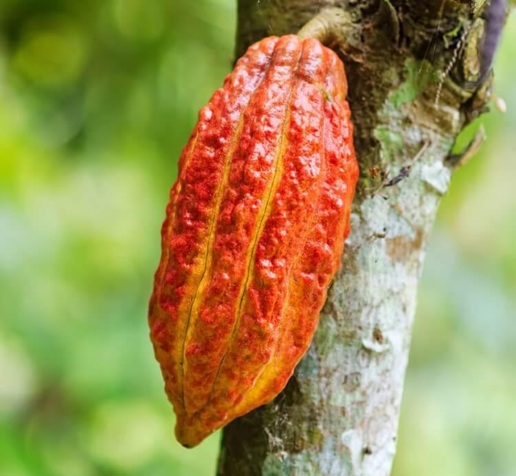 rote vollreife Kakaofrucht