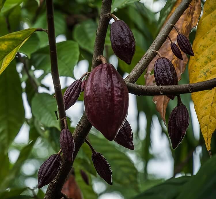 Erntereife Kakaofrucht
