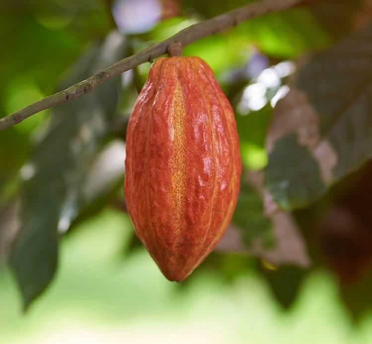 Erntereife Kakaofrucht am Kakaobaum