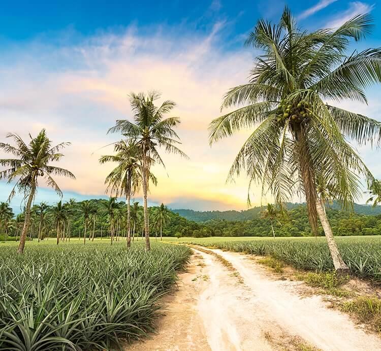 Ananas Plantage in Togo