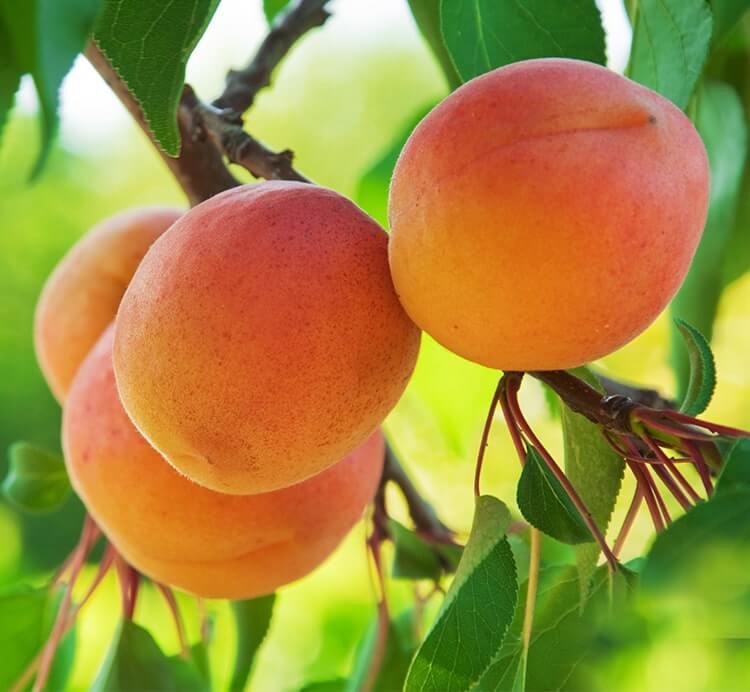 Reife Aprikosen am Baum in der Türkei