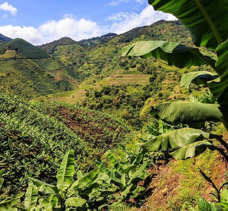 Bananen Farm Kamerun