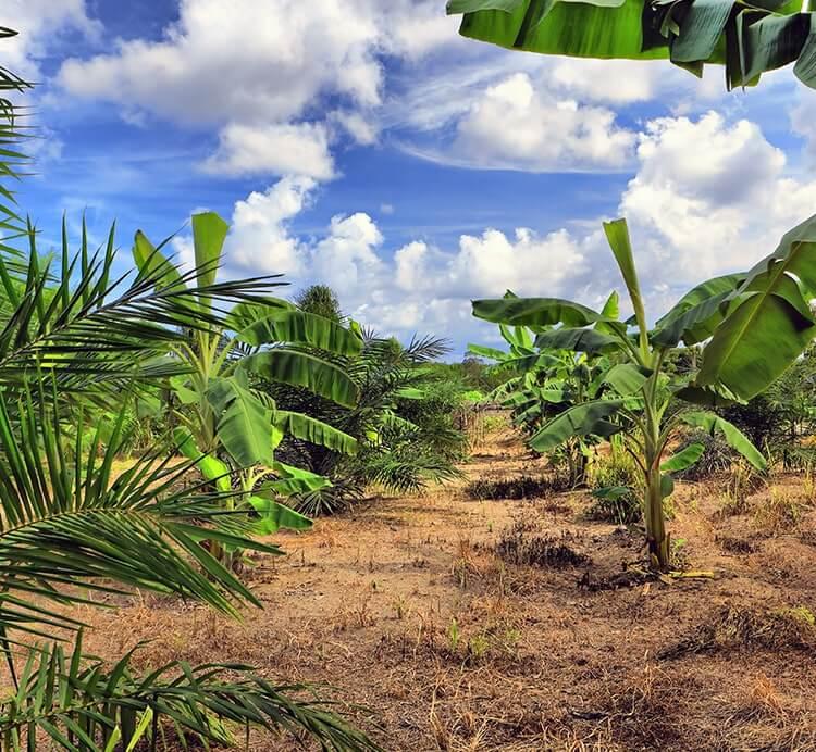 Bananen Plantage Kamerun