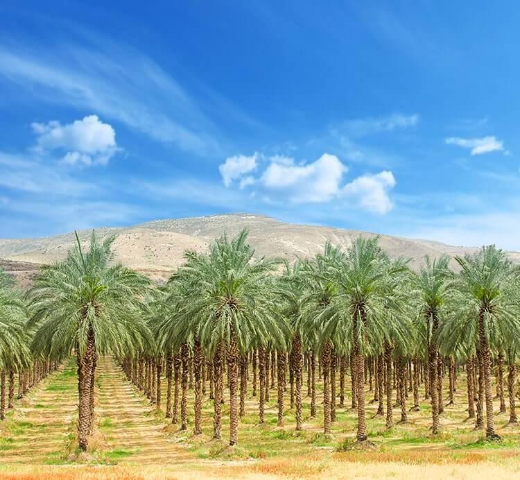 Datteln Plantage in Israel