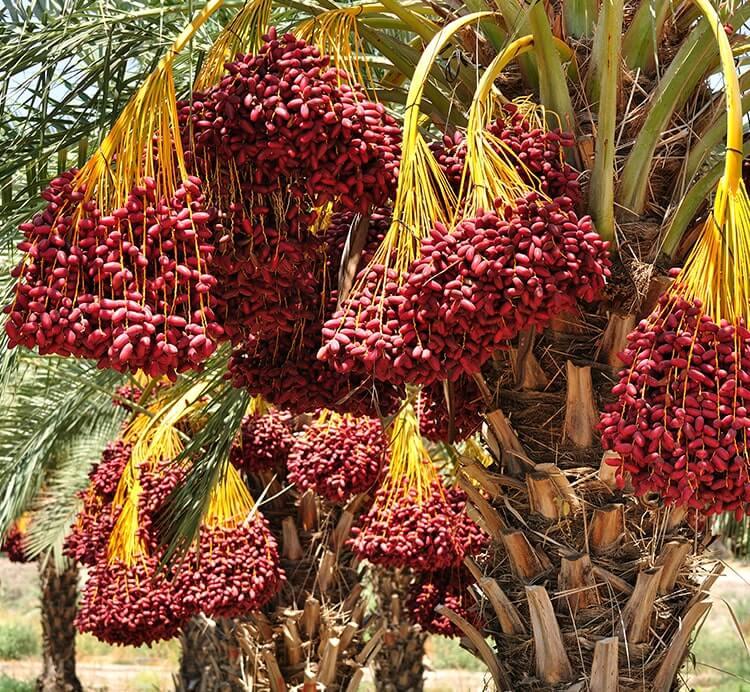 reife Datteln an der Palme