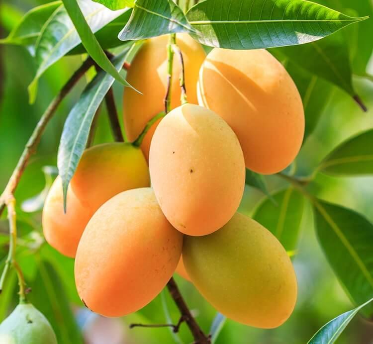 Frische wilde Mango am Baum