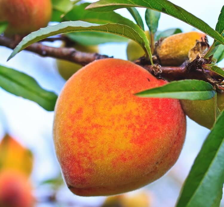 Pfirsich auf dem Baum