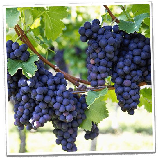 Weinbeeren Plantage in Spanien